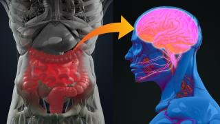 The gut-brain axis is basically an endless three-way call, with messages constantly going back and forth.